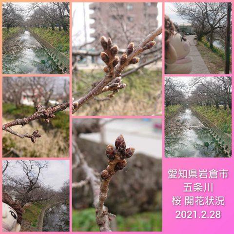 愛知県 岩倉市 五条川 桜 開花情報